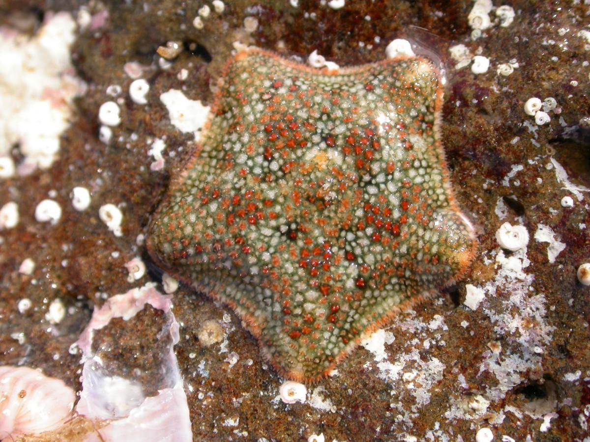 Estrella de mar 2