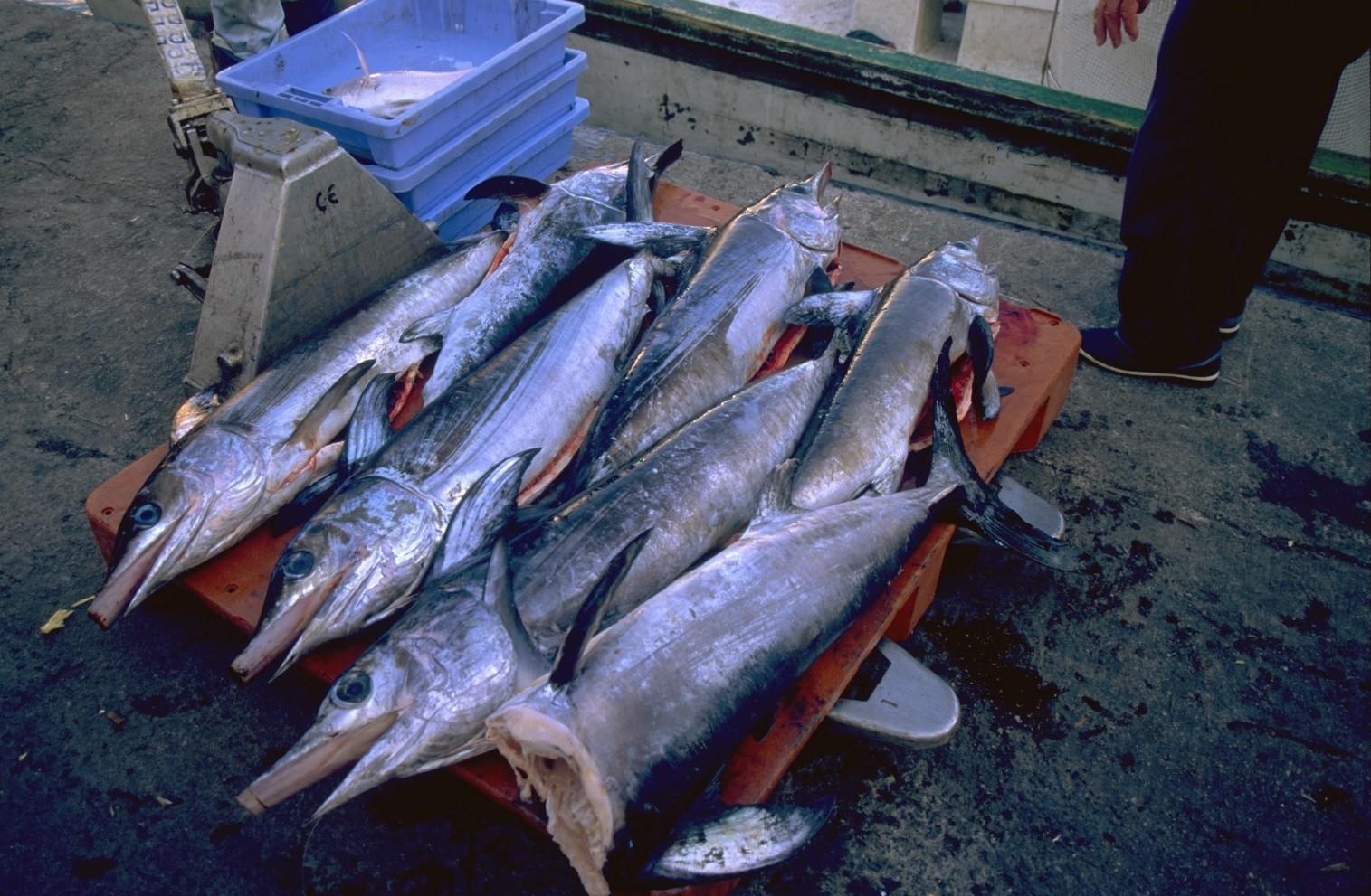 Los pescadores espa oles podr n capturar m s de for Curiosidades del pez espada